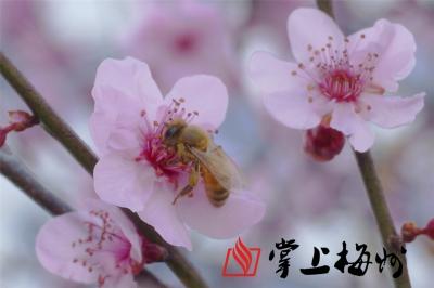 高清大图丨梅城沿江西路腊梅绽放