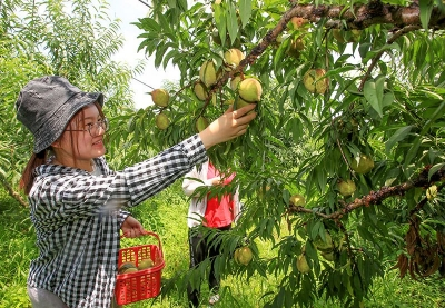 美丽梅州新闻摄影大赛丨蕉岭广福350亩鹰嘴桃丰收