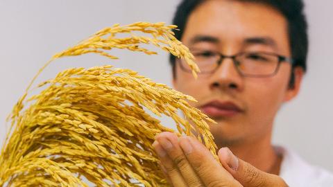 """十年磨一剑!市农科院选育出首个水稻新品种""""客乡一号"""""""