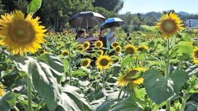 美丽梅州新闻摄影大赛 向日葵花开引客来